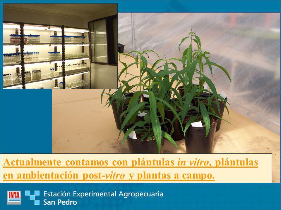 Actualmente contamos con plántulas in vitro, plántulas en ambientación post-vitro y plantas a campo.