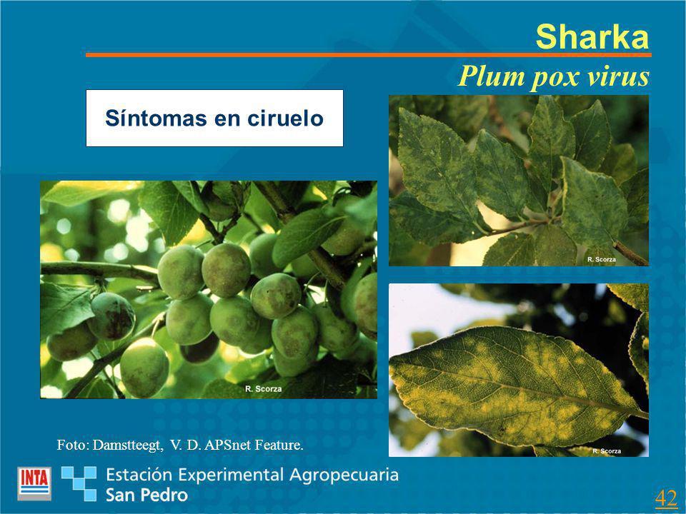 Sharka Plum pox virus Síntomas en ciruelo Foto: Damstteegt, V. D. APSnet Feature. 42