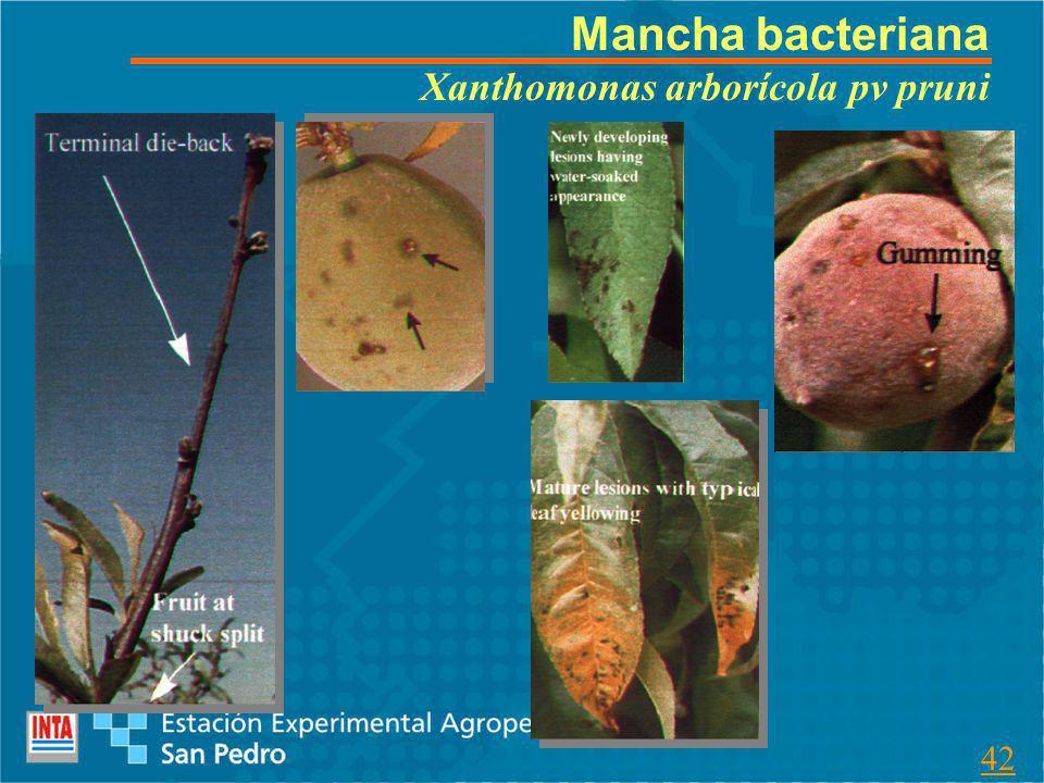 Mancha bacteriana Xanthomonas arborícola pv pruni 42