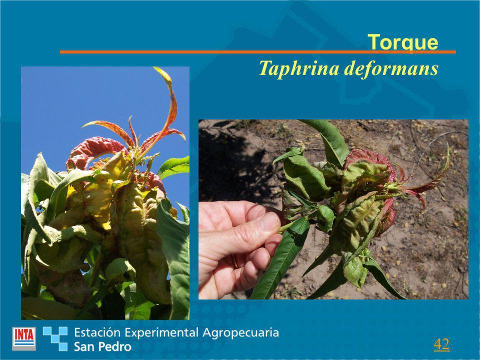 Torque Taphrina deformans 42