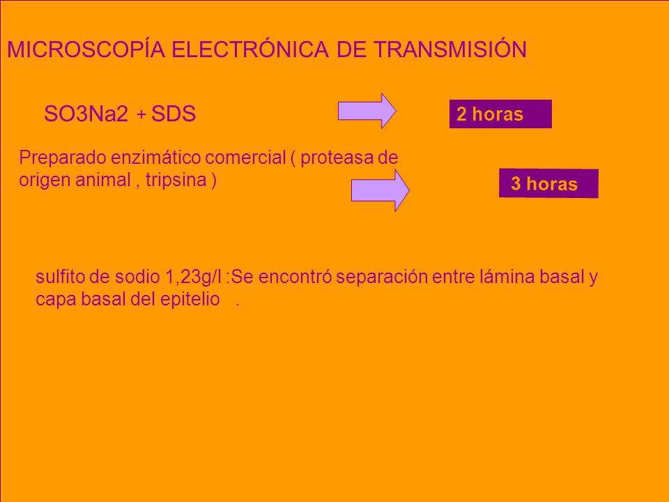 Microscopía Electrónica de Transmisión – MET 5 horas MICROSCOPÍA ELECTRÓNICA DE TRANSMISIÓN SO3Na2 + SDS Preparado enzimático comercial ( proteasa de origen animal, tripsina ) sulfito de sodio 1,23g/l :Se encontró separación entre lámina basal y capa basal del epitelio.