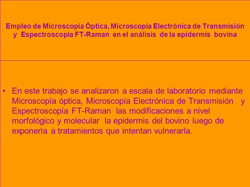 Empleo de Microscopía Óptica, Microscopía Electrónica de Transmisión y Espectroscopía FT-Raman en el análisis de la epidermis bovina En este trabajo se analizaron a escala de laboratorio mediante Microscopía óptica, Microscopía Electrónica de Transmisión y Espectroscopía FT-Raman las modificaciones a nivel morfológico y molecular la epidermis del bovino luego de exponerla a tratamientos que intentan vulnerarla.