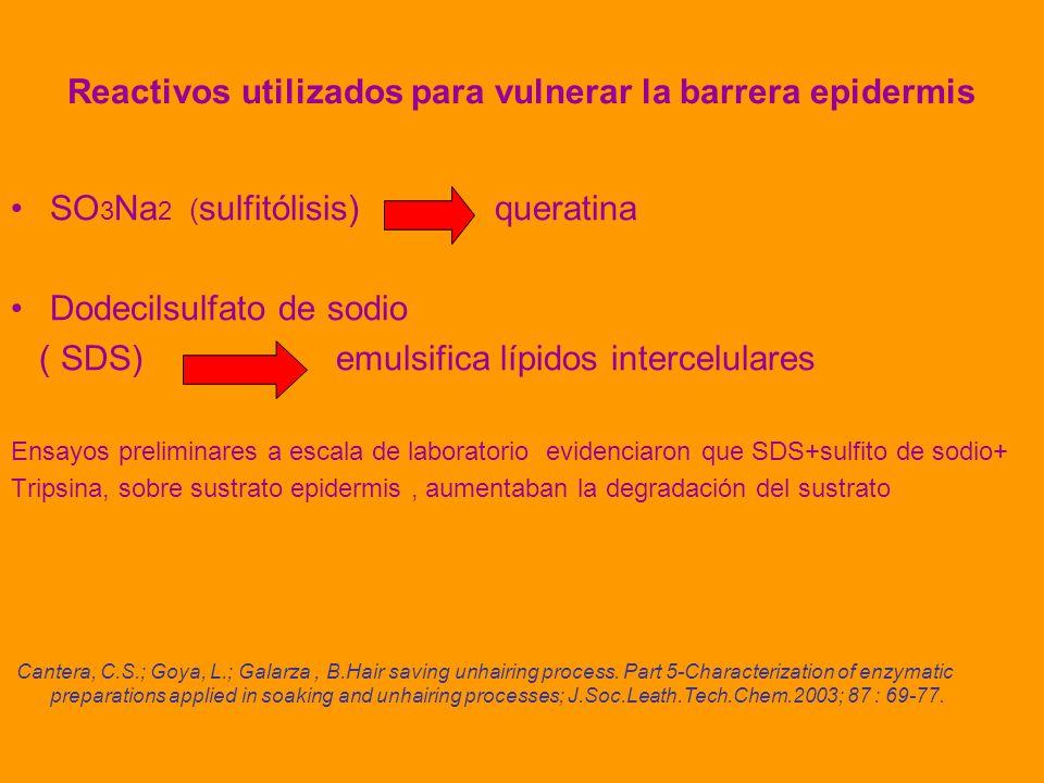 Reactivos utilizados para vulnerar la barrera epidermis SO 3 Na 2 ( sulfitólisis) queratina Dodecilsulfato de sodio ( SDS) emulsifica lípidos intercelulares Ensayos preliminares a escala de laboratorio evidenciaron que SDS+sulfito de sodio+ Tripsina, sobre sustrato epidermis, aumentaban la degradación del sustrato Cantera, C.S.; Goya, L.; Galarza, B.Hair saving unhairing process.