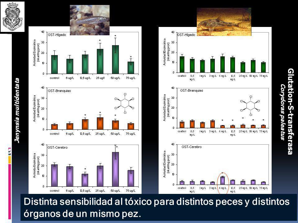 Diseño de los ensayos de exposición con Lindano. CONTROLES Concentraciones subletales ( CL 50 118 g.L -1 ). Condiciones del laboratorio (temperatura: