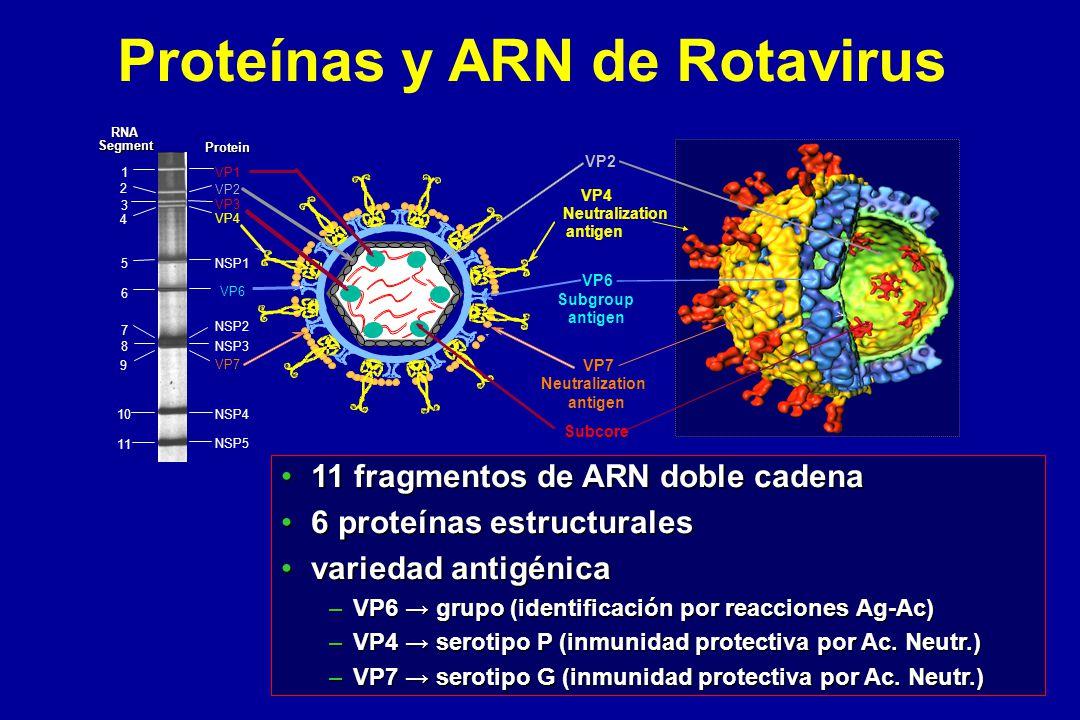 Tipos de Rotavirus en Argentina Fuente: 1 1 y 2 2 y 3 3 3 3 4 4 G1P8G2P4G4P8G9P6 Brote en C.