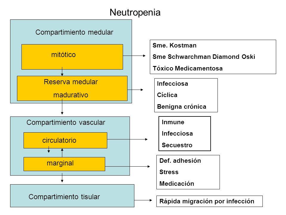 Neutropenia Compartimiento medular mitótico Reserva medular madurativo Compartimiento vascular circulatorio marginal Compartimiento tisular Sme.