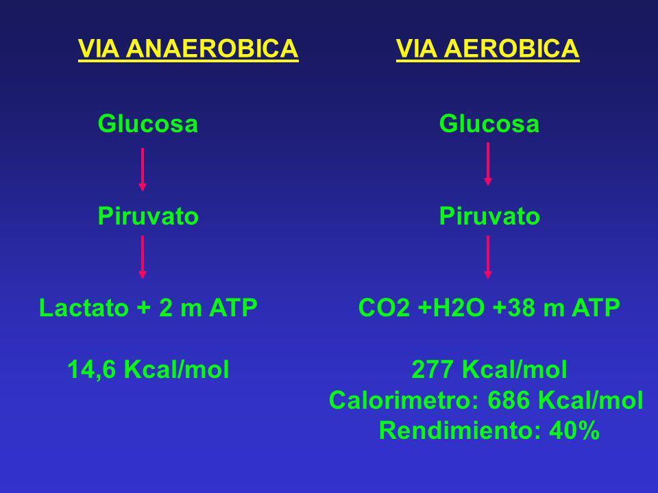VIA ANAEROBICA Glucosa Piruvato Lactato + 2 m ATP 14,6 Kcal/mol Glucosa Piruvato CO2 +H2O +38 m ATP 277 Kcal/mol Calorimetro: 686 Kcal/mol Rendimiento