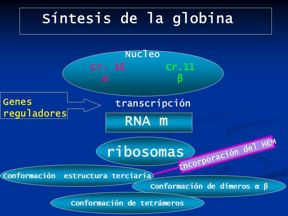 Síntesis de la globina Nucleo Cr.