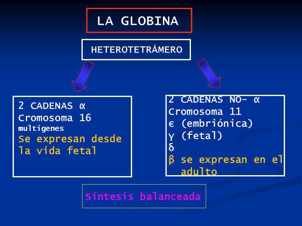 LA GLOBINA HETEROTETRÁMERO 2 CADENAS α Cromosoma 16 multigenes Se expresan desde la vida fetal 2 CADENAS NO- α Cromosoma 11 ε (embriónica) γ (fetal) δ β se expresan en el adulto Síntesis balanceada