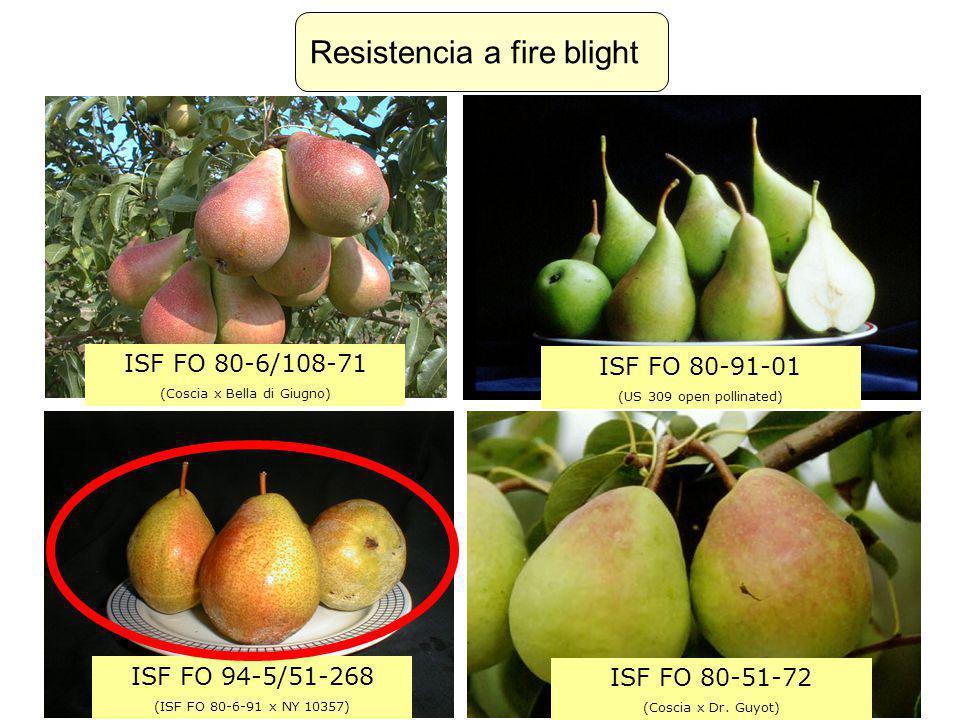 ISF FO 80-6/108-71 (Coscia x Bella di Giugno) ISF FO 80-91-01 (US 309 open pollinated) ISF FO 80-51-72 (Coscia x Dr. Guyot) ISF FO 94-5/51-268 (ISF FO