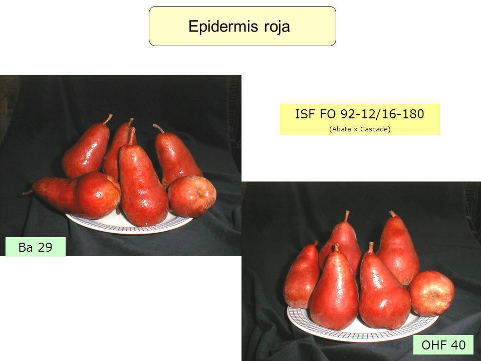 Epidermis roja ISF FO 92-12/16-180 (Abate x Cascade) OHF 40 Ba 29