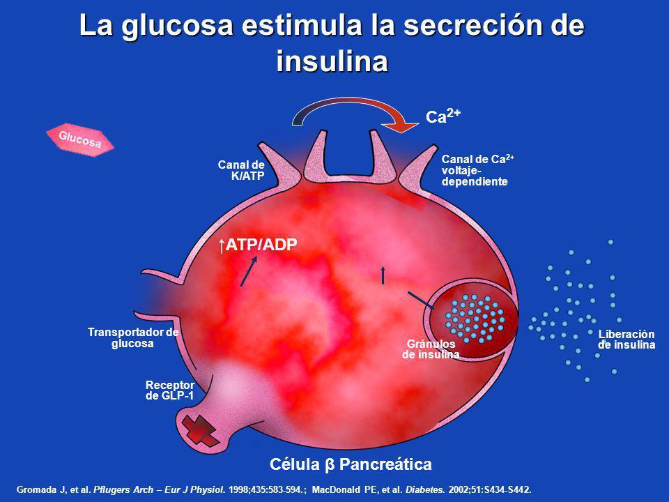 Receptor de GLP-1 Gránulos de insulina La glucosa estimula la secreción de insulina Célula β Pancreática ATP/ADP Transportador de glucosa Canal de K/A