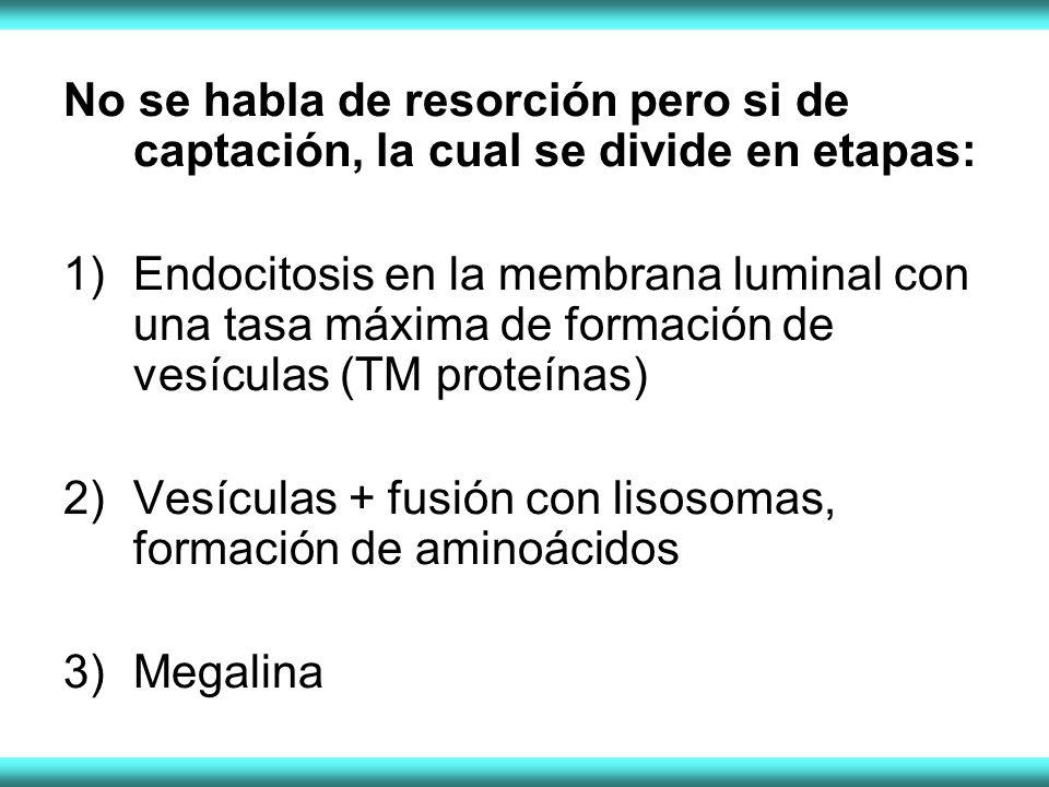 No se habla de resorción pero si de captación, la cual se divide en etapas: 1)Endocitosis en la membrana luminal con una tasa máxima de formación de vesículas (TM proteínas) 2)Vesículas + fusión con lisosomas, formación de aminoácidos 3)Megalina