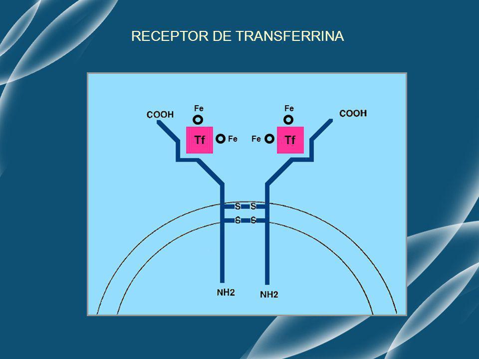 RECEPTOR DE TRANSFERRINA Tf Fe Tf Fe