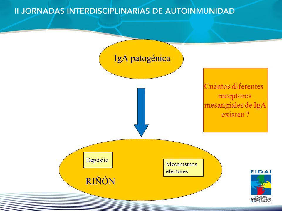 IgA patogénica RIÑÓN Depósito Mecanismos efectores Cuántos diferentes receptores mesangiales de IgA existen ?