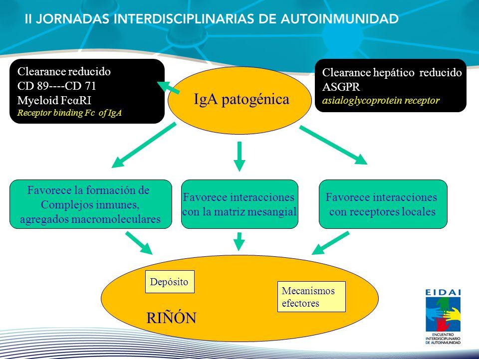 Clearance hepático reducido ASGPR asialoglycoprotein receptor IgA patogénica RIÑÓN Depósito Mecanismos efectores Favorece la formación de Complejos in