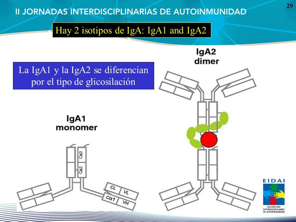 29 Hay 2 isotipos de IgA: IgA1 and IgA2 La IgA1 y la IgA2 se diferencian por el tipo de glicosilación