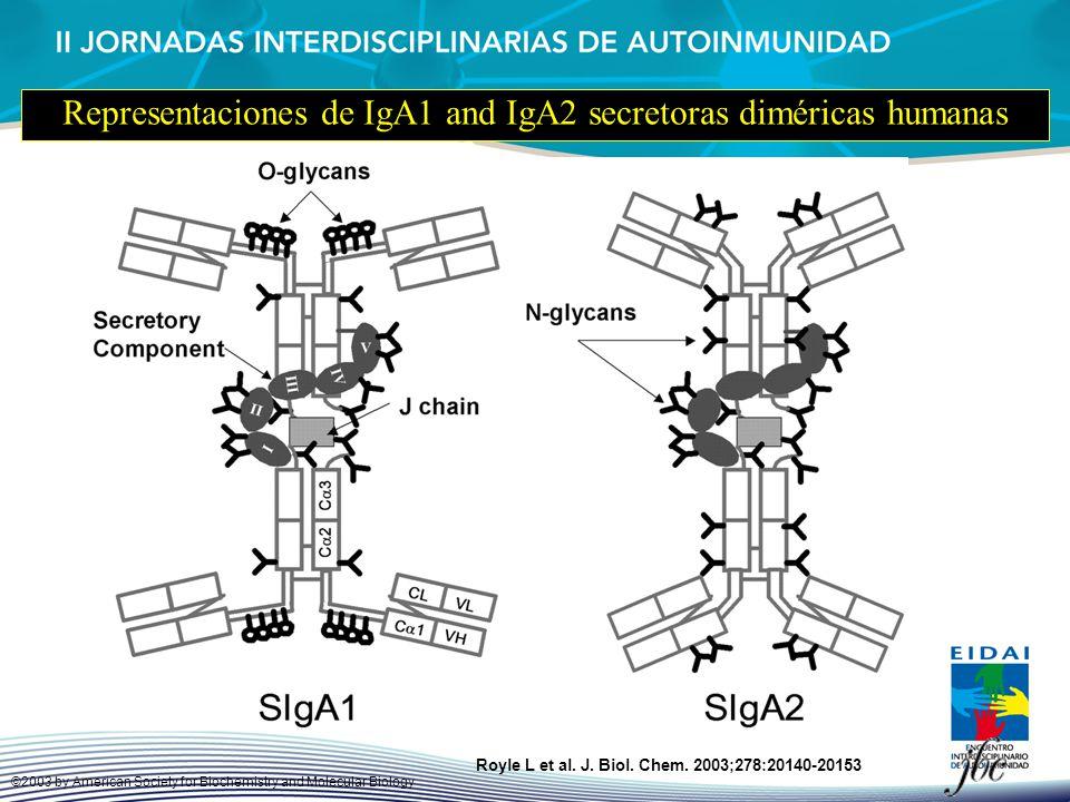 Representaciones de IgA1 and IgA2 secretoras diméricas humanas Royle L et al. J. Biol. Chem. 2003;278:20140-20153 ©2003 by American Society for Bioche