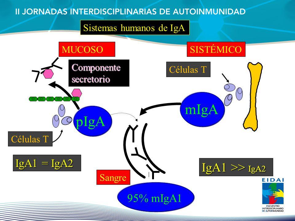 pIgA IgA1 = IgA2 MUCOSO mIgA IgA1 >> IgA2 SISTÉMICO Sistemas humanos de IgA Sangre 95% mIgA1 Componente secretorio Células T