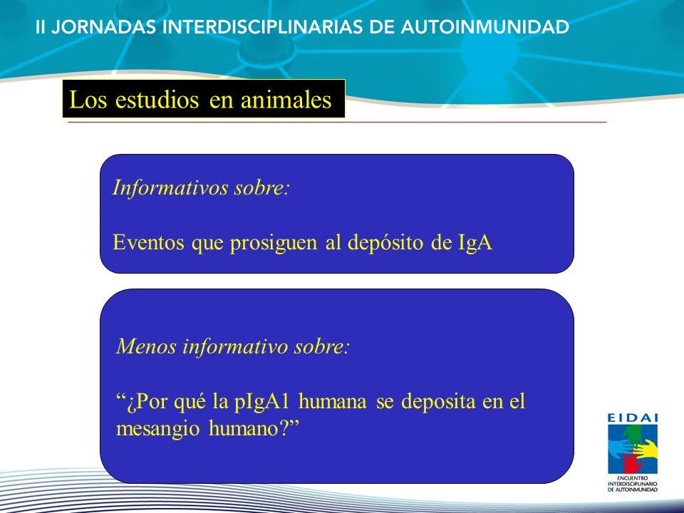 Informativos sobre: Eventos que prosiguen al depósito de IgA Menos informativo sobre: ¿Por qué la pIgA1 humana se deposita en el mesangio humano?