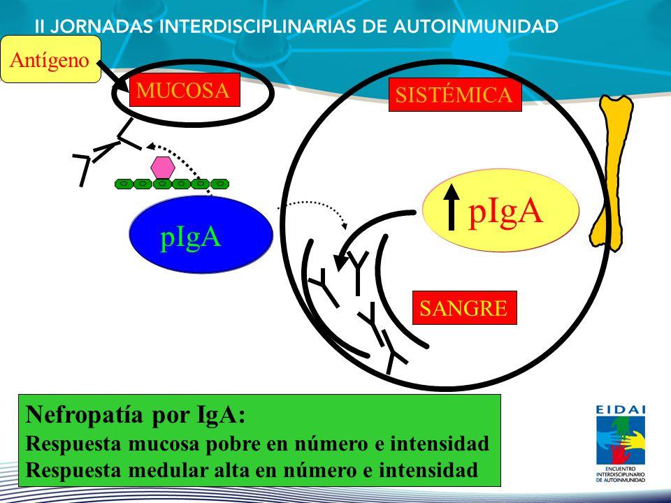 pIgA MUCOSA pIgA SISTÉMICA SANGRE Antígeno Nefropatía por IgA: Respuesta mucosa pobre en número e intensidad Respuesta medular alta en número e intens