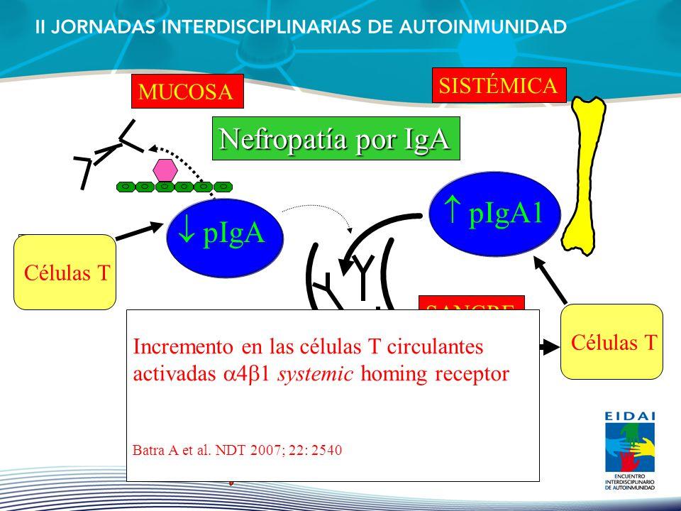 pIgA MUCOSA pIgA1 SISTÉMICA SANGRE pIgA1 Células T Incremento en las células T circulantes activadas 4 1 systemic homing receptor Batra A et al. NDT 2