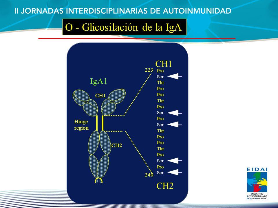 CH1 CH2 IgA1 CH2 CH1 Pro Ser Thr Pro Thr Pro Ser Pro Ser Thr Pro Thr Pro Ser Pro Ser 223 240 Hinge region O - Glicosilación de la IgA