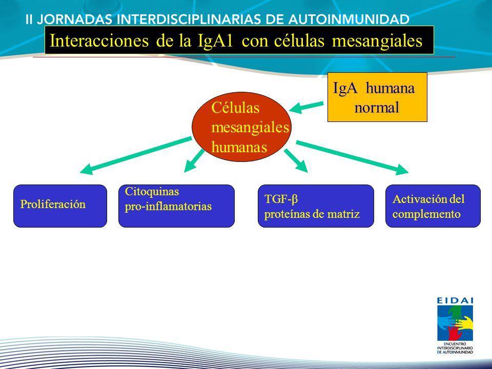 Proliferación Citoquinas pro-inflamatorias TGF-β proteínas de matriz Activación del complemento Células mesangiales humanas IgA humana normal Interacc