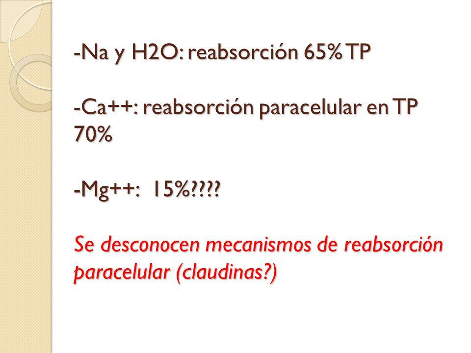 -Na y H2O: reabsorción 65% TP -Ca++: reabsorción paracelular en TP 70% -Mg++: 15%???? Se desconocen mecanismos de reabsorción paracelular (claudinas?)