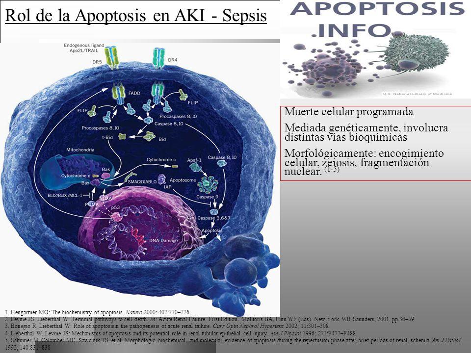 Rol de la Apoptosis en AKI - Sepsis Muerte celular programada Mediada genéticamente, involucra distintas vías bioquímicas Morfológicamente: encogimien