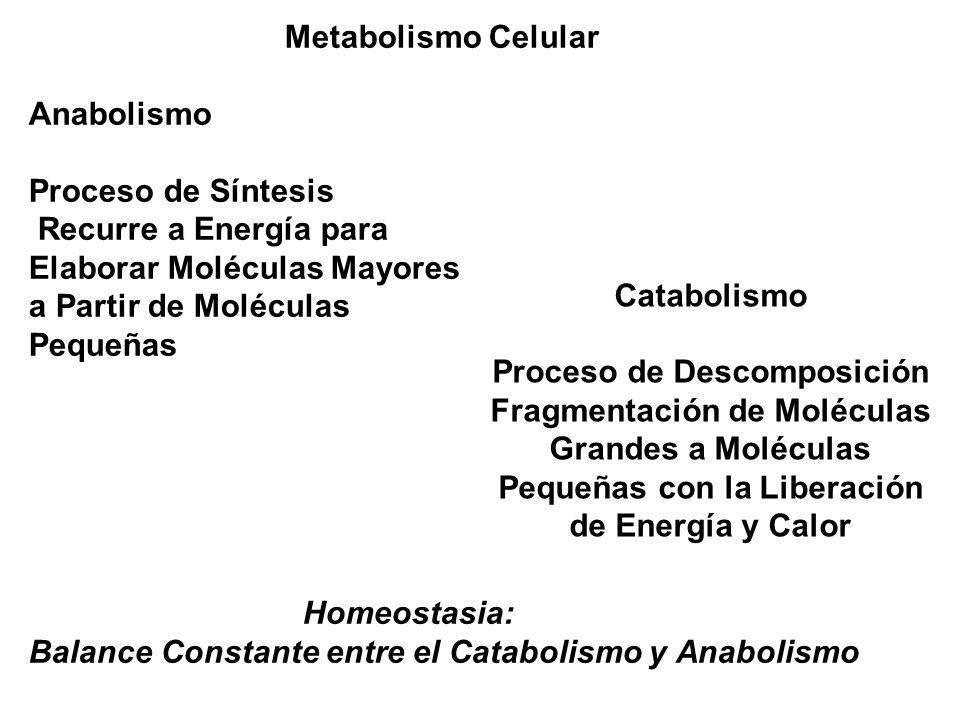 Metabolismo Celular Anabolismo Proceso de Síntesis Recurre a Energía para Elaborar Moléculas Mayores a Partir de Moléculas Pequeñas Homeostasia: Balan