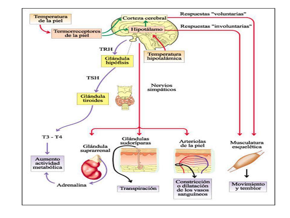 Vasoconstricción En el hipotálamo posterior existe el centro nervioso simpático encargado de enviar señales que causa una disminución del diámetro de los vasos sanguíneos cutáneos; ésta es la razón por la cual la gente palidece con el frío.