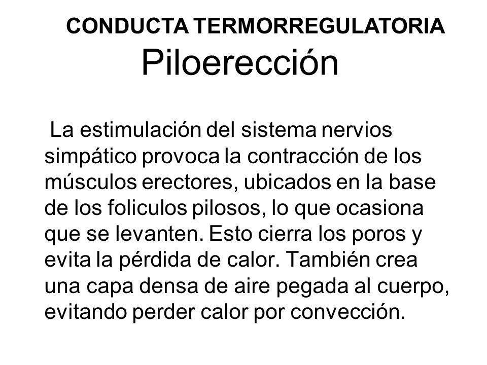 Piloerección La estimulación del sistema nervios simpático provoca la contracción de los músculos erectores, ubicados en la base de los foliculos pilo