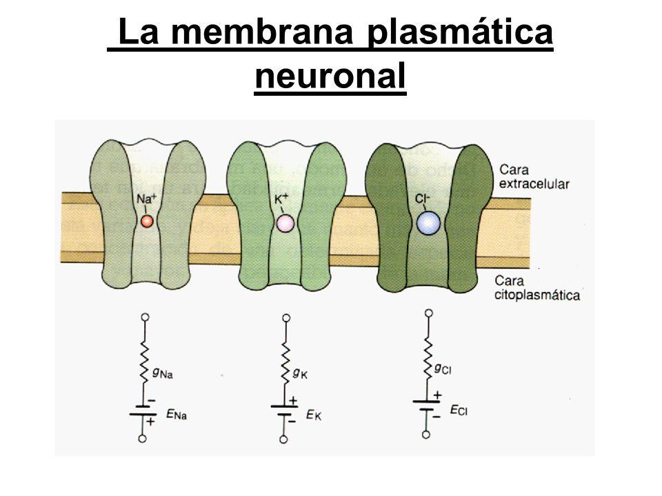 La membrana plasmática neuronal