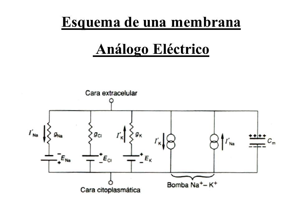 Esquema de una membrana Análogo Eléctrico