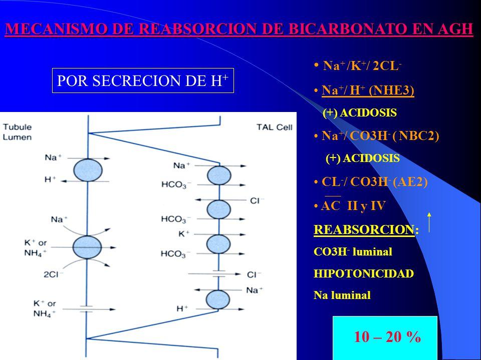 MECANISMO DE REABSORCION DE BICARBONATO EN AGH 10 – 20 % Na + /K + / 2CL - Na + / H + (NHE3) (+) ACIDOSIS Na + / CO3H - ( NBC2) (+) ACIDOSIS CL - / CO3H - (AE2) AC II y IV REABSORCION: CO3H - luminal HIPOTONICIDAD Na luminal POR SECRECION DE H +