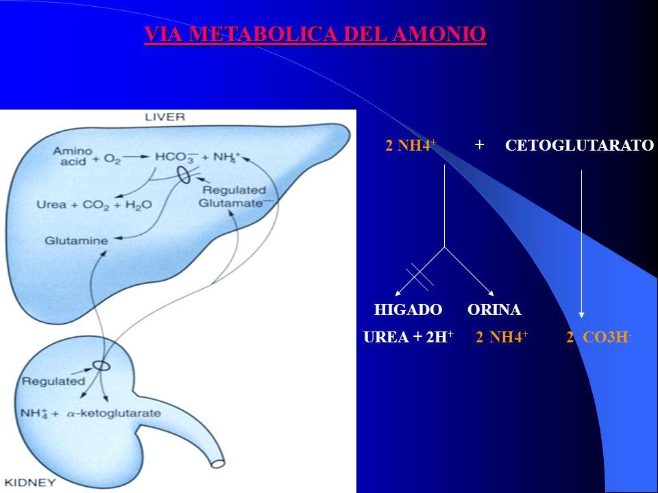 VIA METABOLICA DEL AMONIO 2 NH4 + + CETOGLUTARATO 2 CO3H - HIGADO ORINA UREA + 2H + 2 NH4 +