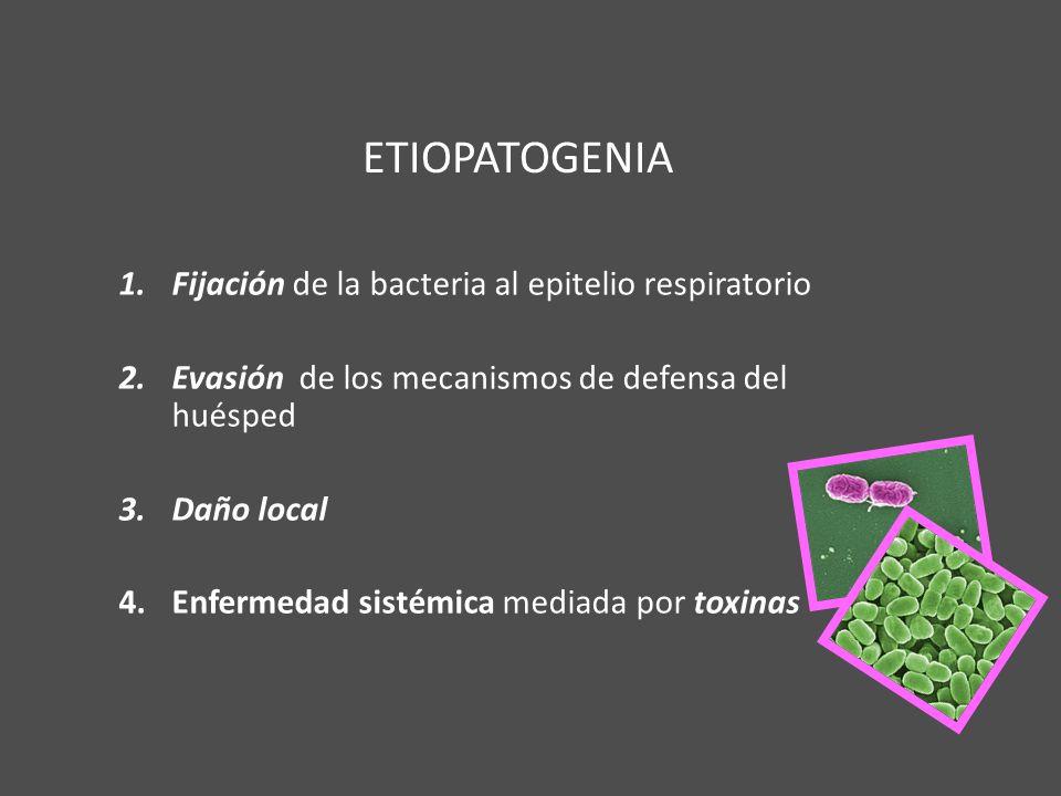 ETIOPATOGENIA 1.Fijación de la bacteria al epitelio respiratorio 2.Evasión de los mecanismos de defensa del huésped 3.Daño local 4.Enfermedad sistémic