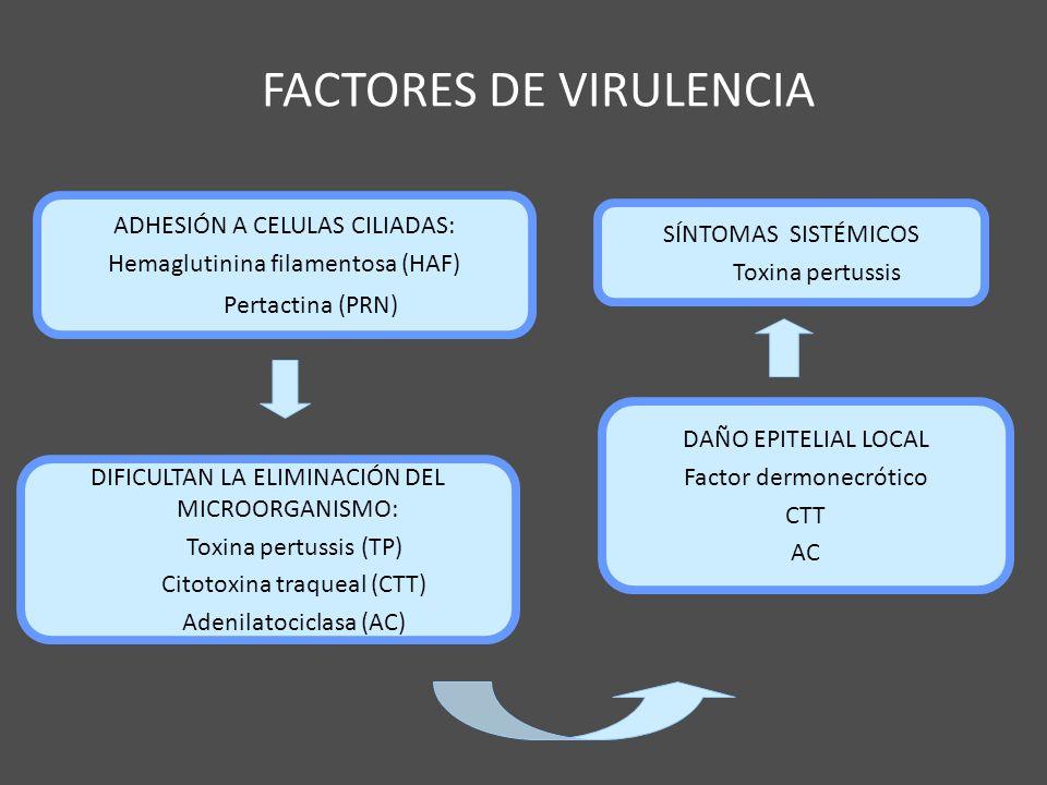 FACTORES DE VIRULENCIA ADHESIÓN A CELULAS CILIADAS: Hemaglutinina filamentosa (HAF) Pertactina (PRN) DIFICULTAN LA ELIMINACIÓN DEL MICROORGANISMO: Tox