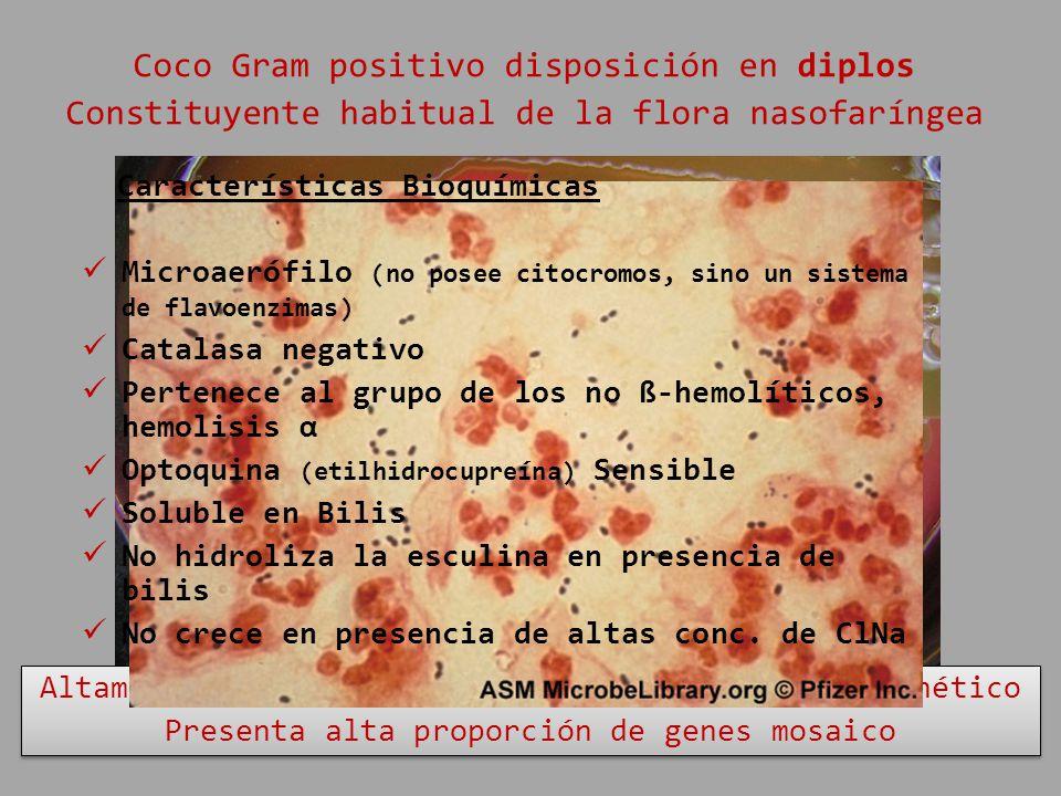 Coco Gram positivo disposición en diplos Constituyente habitual de la flora nasofaríngea Altamente permisivo al intercambio de material genético Prese