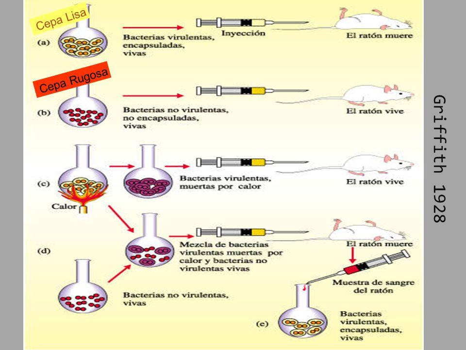 Cápsula Dinámica Inhibe la fagocitosis