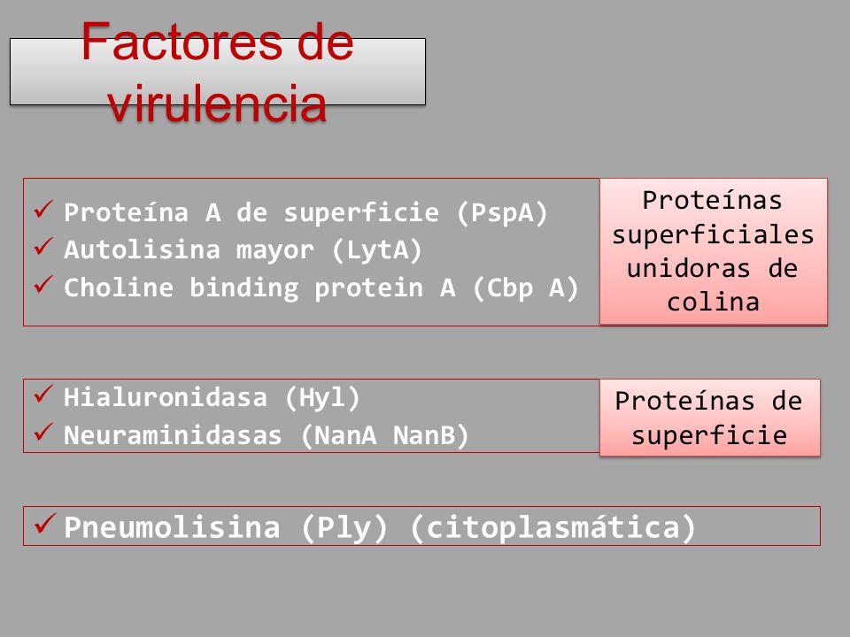 Proteína A de superficie (PspA) Autolisina mayor (LytA) Choline binding protein A (Cbp A) Factores de virulencia Proteínas superficiales unidoras de c