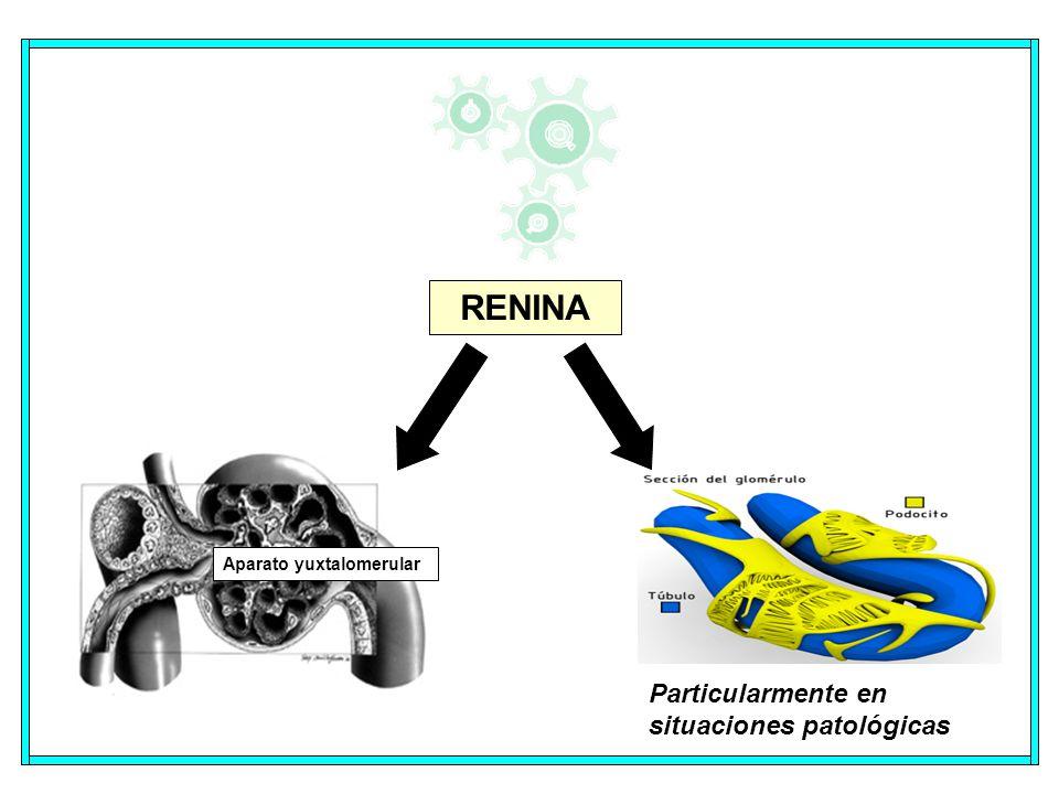 RENINA Aparato yuxtalomerular Particularmente en situaciones patológicas