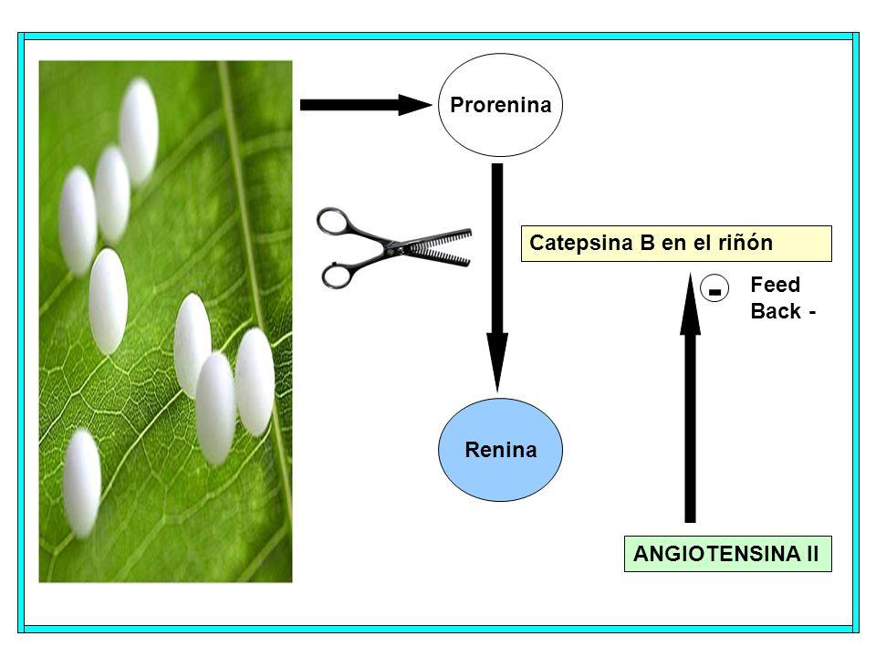 Prorenina Renina Catepsina B en el riñón ANGIOTENSINA II - Feed Back -