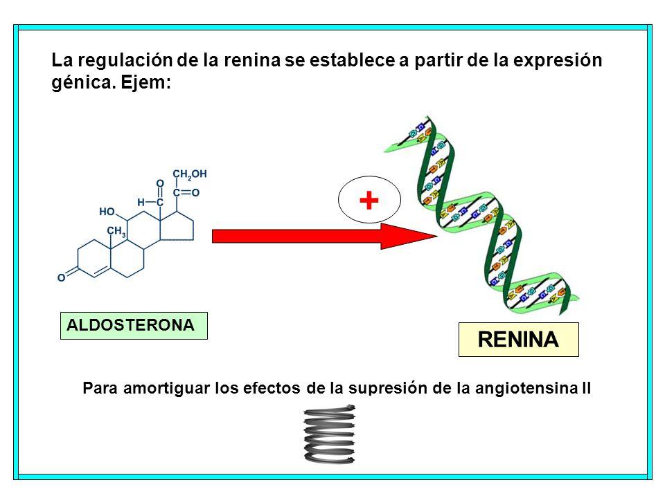 Para amortiguar los efectos de la supresión de la angiotensina II La regulación de la renina se establece a partir de la expresión génica.