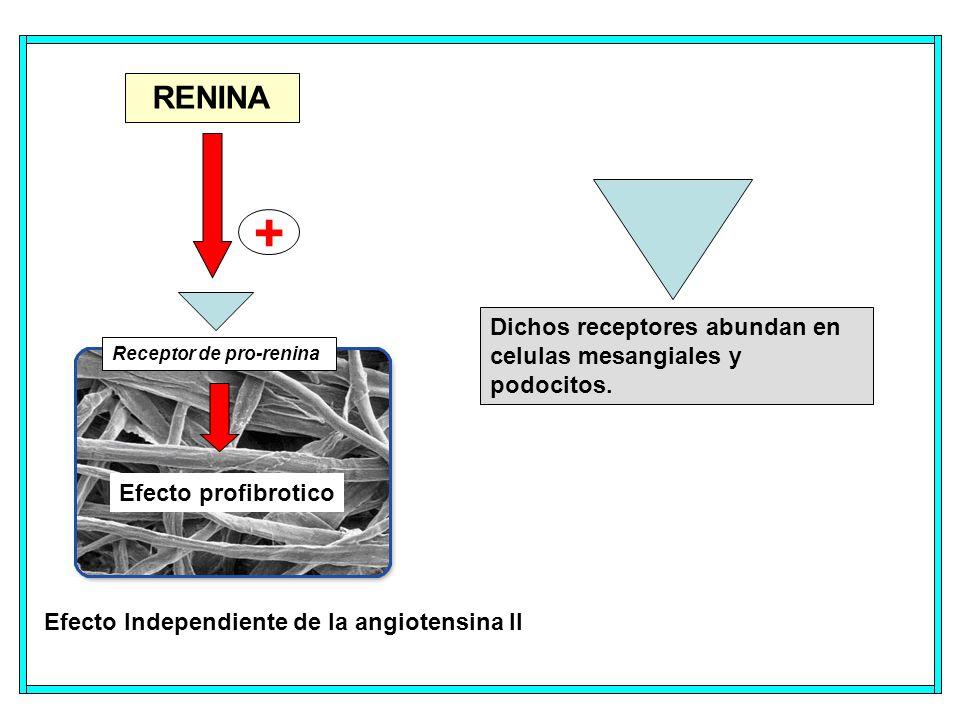 Efecto profibrotico RENINA + Efecto Independiente de la angiotensina II Receptor de pro-renina Dichos receptores abundan en celulas mesangiales y podocitos.