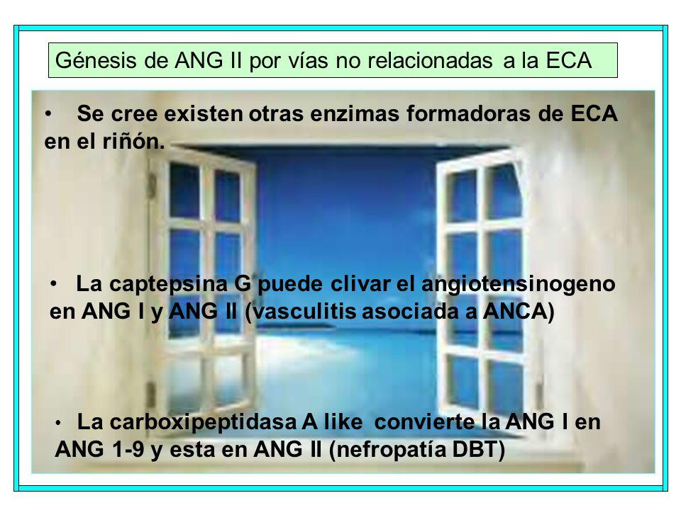 Génesis de ANG II por vías no relacionadas a la ECA Se cree existen otras enzimas formadoras de ECA en el riñón.