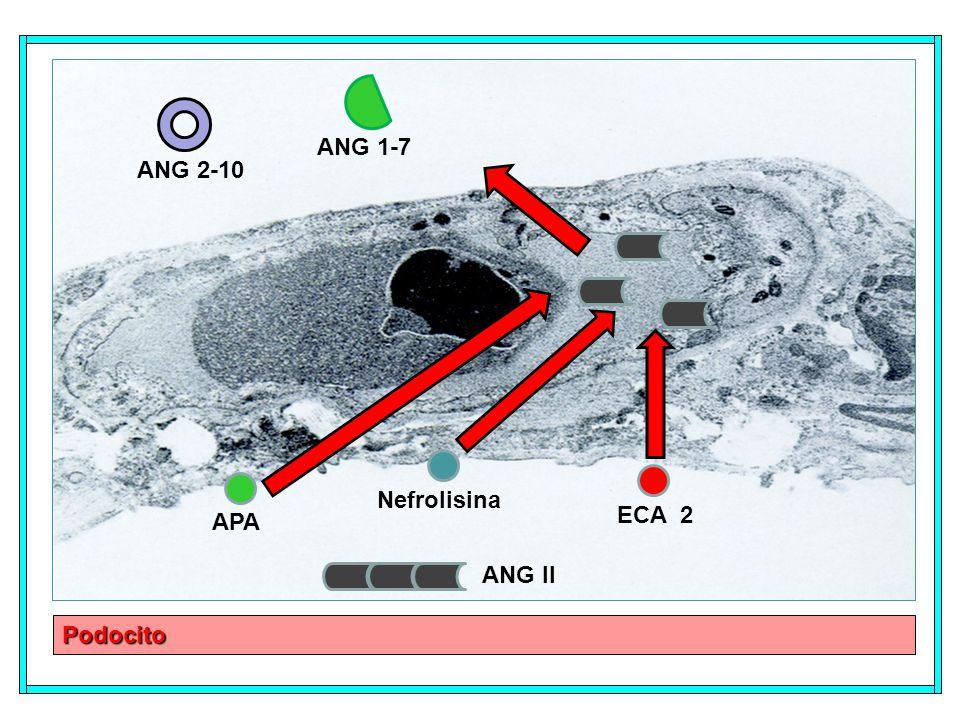 Podocito APA Nefrolisina ECA 2 ANG II ANG 2-10 ANG 1-7