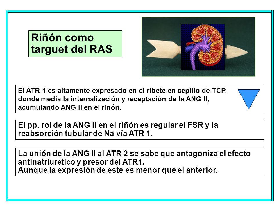 Riñón como targuet del RAS El ATR 1 es altamente expresado en el ribete en cepillo de TCP, donde media la internalización y receptación de la ANG II, acumulando ANG II en el riñón.