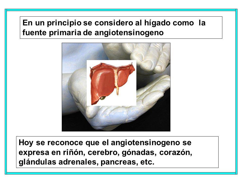 En un principio se considero al hígado como la fuente primaria de angiotensinogeno Hoy se reconoce que el angiotensinogeno se expresa en riñón, cerebro, gónadas, corazón, glándulas adrenales, pancreas, etc.